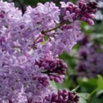 Largest Lilac garden in the Baltics